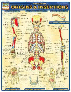 Book cover BarCharts QuickStudy Muscular Origins & Insertions